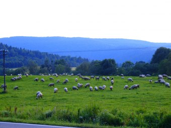 Owce i barany Białego Dunajca