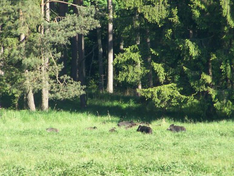 Dziki w Rezerwacie Krajobrazowym Kośno.
