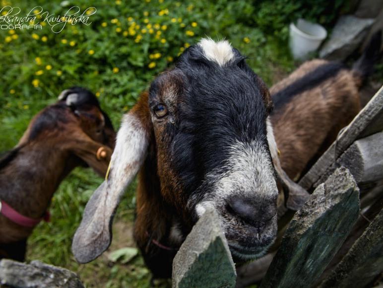kozy anglonubijskie
