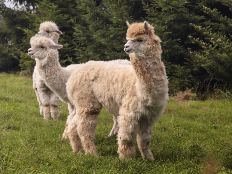 Alpaki: Jasiu, Zośka i Hanka