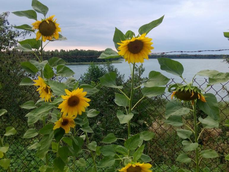 Moje słoneczniki z widokiem na jezioro.