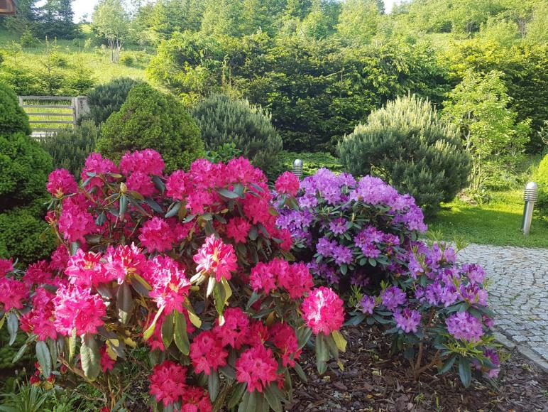 rododendrony maj-czerwiec