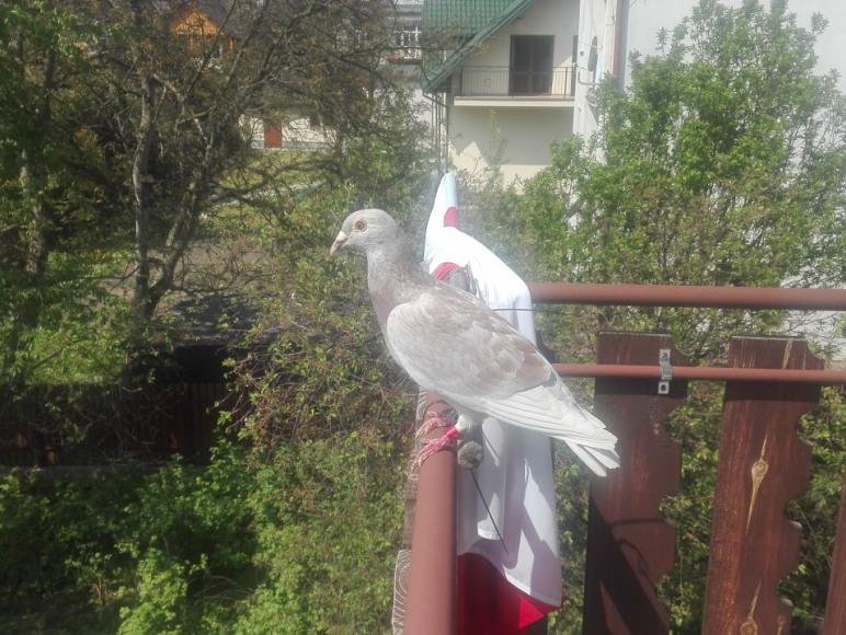 gościliśmy nawet gołębia pocztowego
