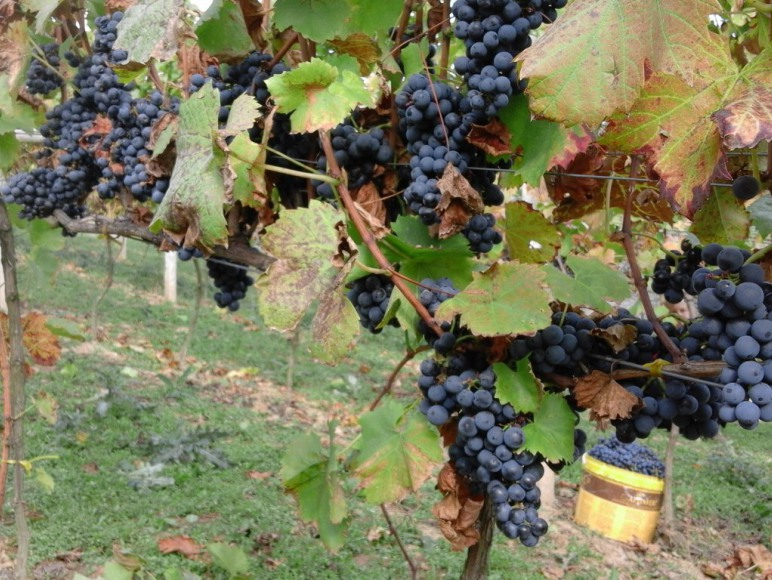 w winnicy jesienią