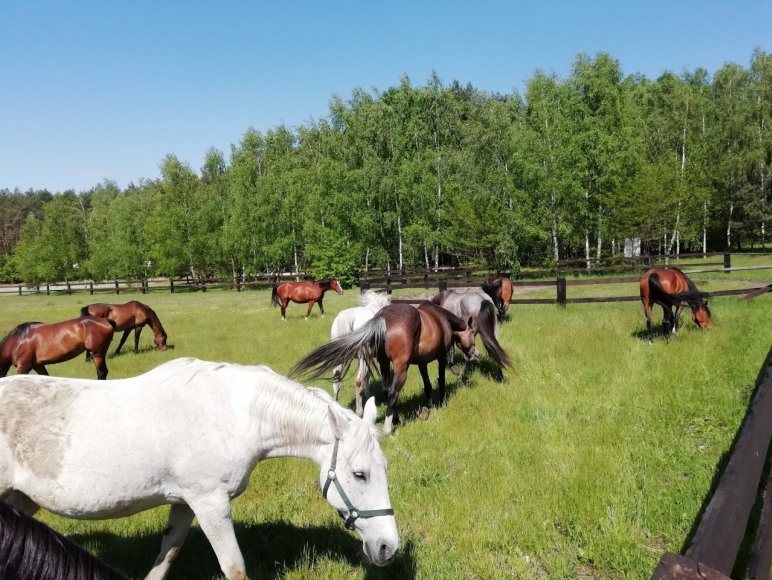 Stado koni sąsiada.