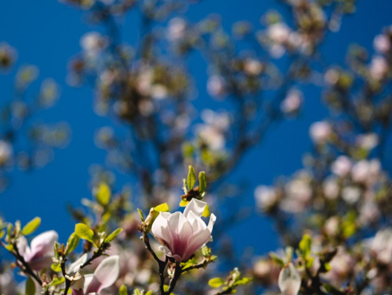 Park - kwitnące magnolie
