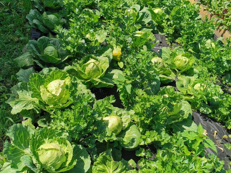 ekologiczne warzywa z Sangos