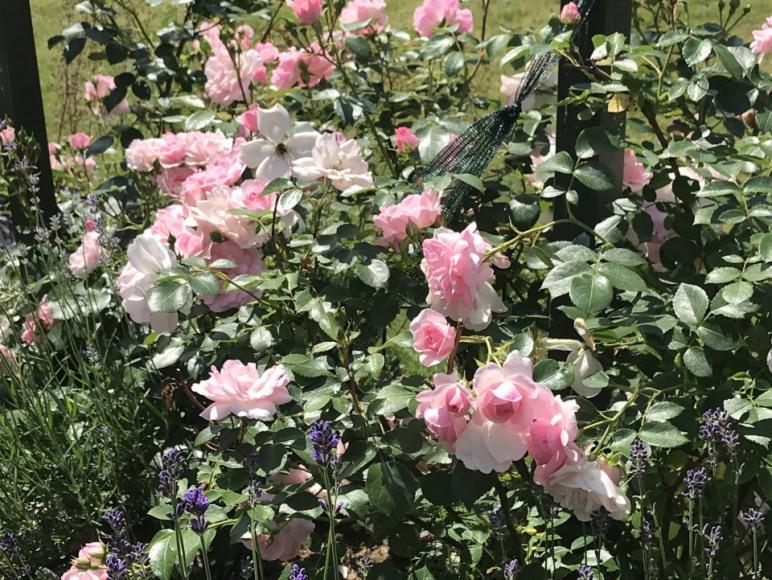 Róże Bonica
