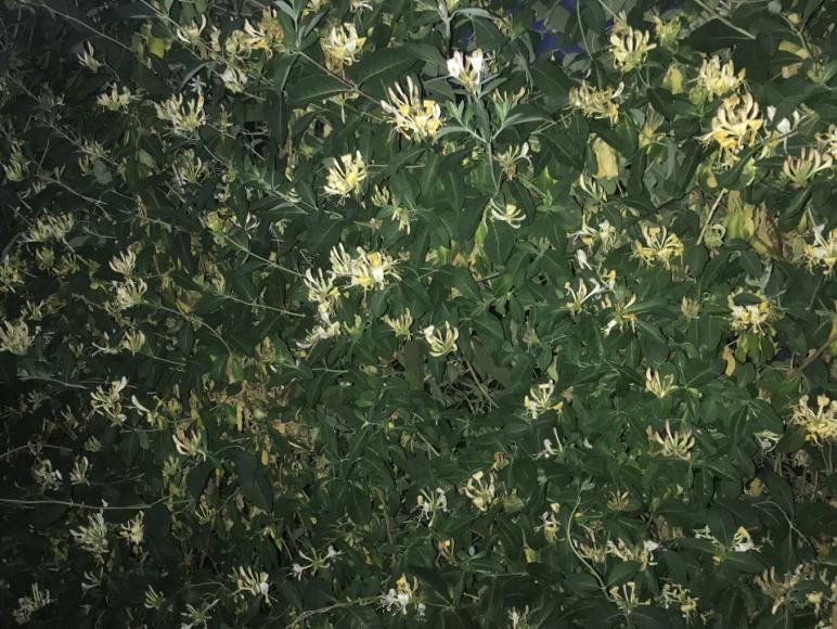 Kapryfolium