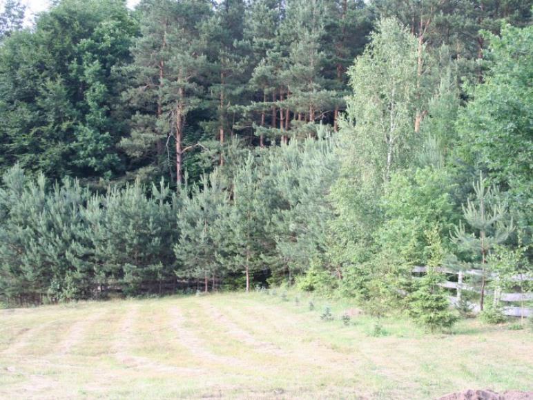 Ściana lasu bezpośrednio przy działce