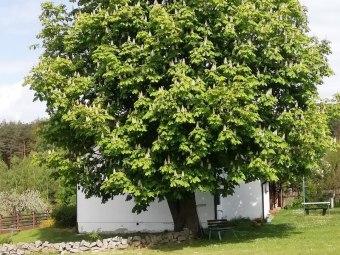 Najstarsze drzewo w Starowiejskim Azylu 100 letni kasztanowiec.